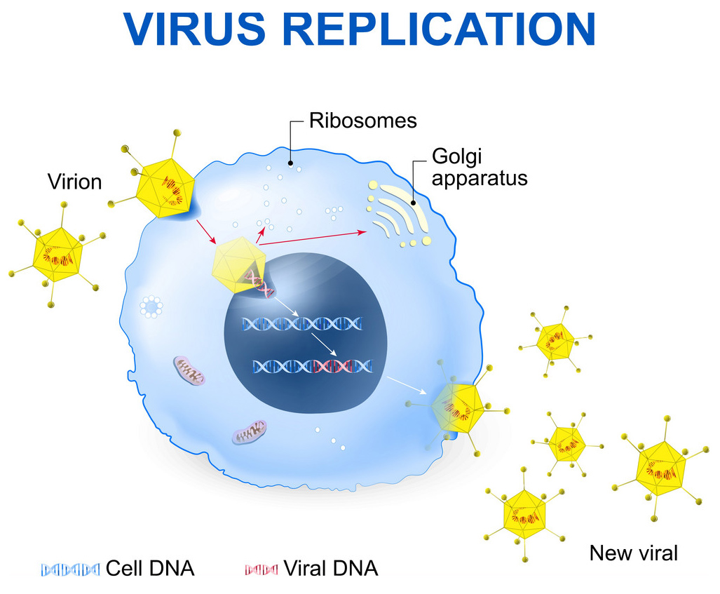 virus replication